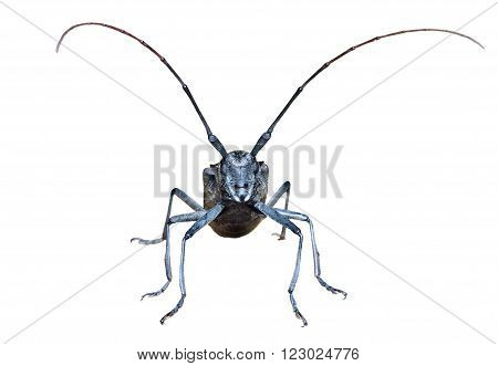 A close up of the Capricorn beetle en face. Isolated on white.