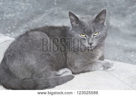 Gray British cat lying on a concrete surface
