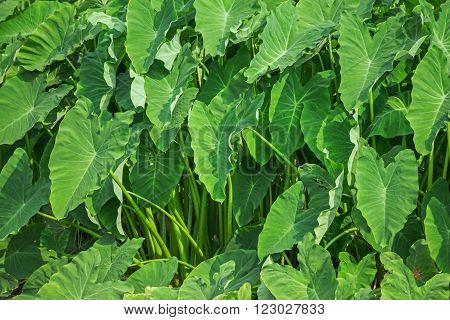 Giant taro plant in lush jungle , green background