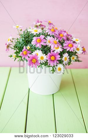 Colorful daisies in white pot on green