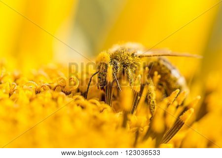 Honey bee pollinating covered with pollen on yellow sunflower. The animal is sitting on a flower in summer or autumn time. Many little orange pollen on its body. Important for environment and ecology.