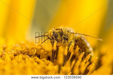Honey bee covered with yellow pollen and legs in air. The animal is sitting on a flower in summer or autumn time. Many little orange pollen on its body. Important for environment and ecology.