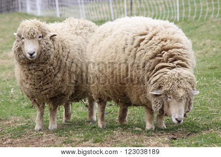 Two white woolly sheep grazing on a farm.
