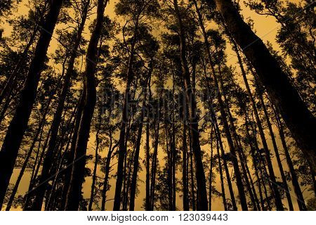 Gloomy silhouettes of pines in a thick pine forest (retro style)