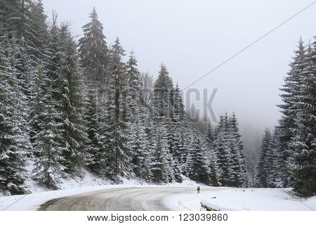 Forest landscape with tall snowy spruces over the road