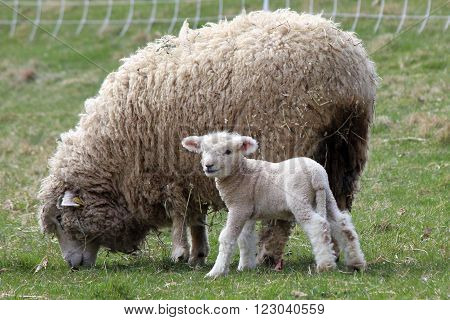 A woolly mother sheep grazing in a field on a farm with her newborn lamb.