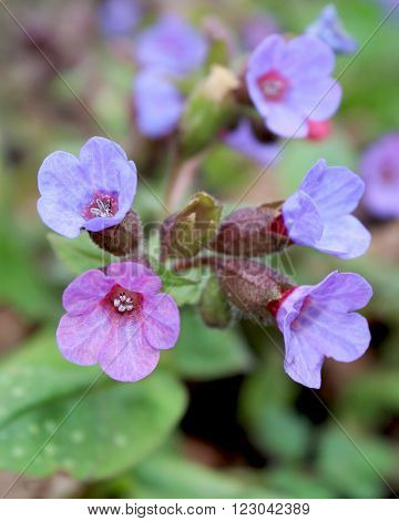 The pretty flowers of Pulmonaria officinalis in spring. Also known as Lungwort, or Our Lady's Milk drops.