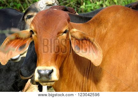 closeup of ox photographed outdoors while grazing