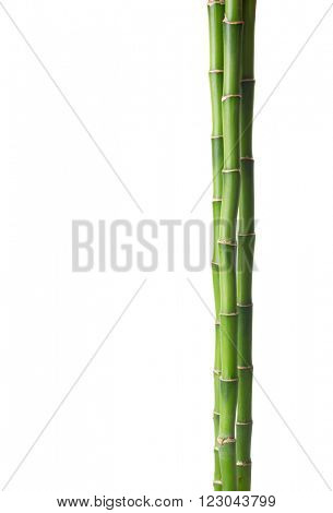 Bamboo isolated on white background.