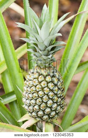 A ripening pineapple plant in the wild