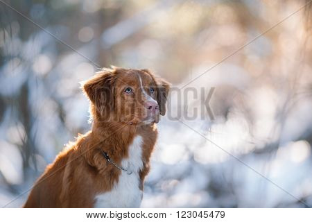 Dog Breed Nova Scotia Duck Tolling Retriever In Winter Park