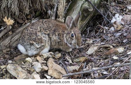 A Cottontail Rabbit (Sylvilagus floridanus) foraging for food alongside a hiking trail, in springtime