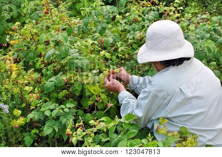 Senior woman picking ripe raspberries in the garden