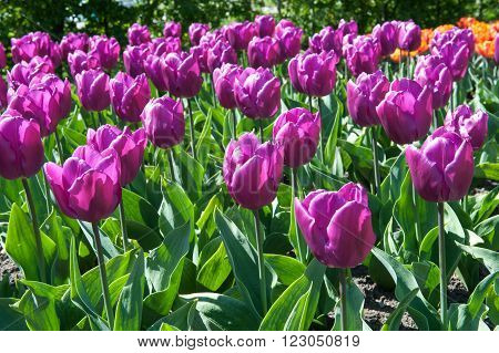 Beautiful tulips in the garden sort Tulipa Negrita from Triumph Group