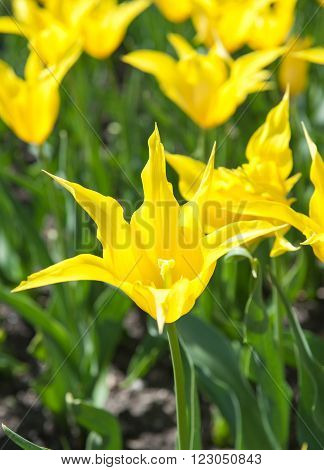 Beautiful yellow tulips in the garden sort Tulipa westpoint , from Lily-flowered Group