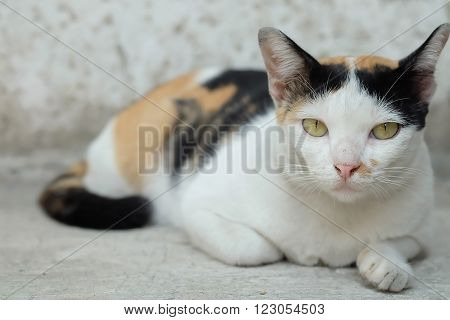 Thailand Cat or calico Looking a Hope(Selective focus)