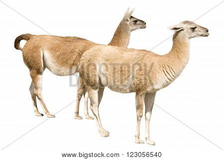 Two llamas (isolated on a white background)