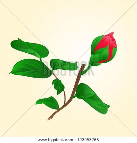 Flower Camellia Japonica Bud of vector illustration
