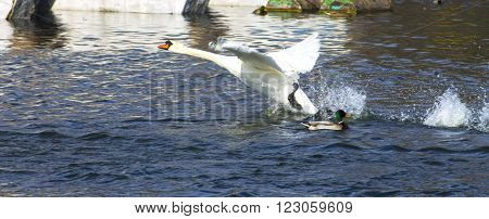Swan taking off from a lake pond river. horizontal shot, theme - the nature, animals.