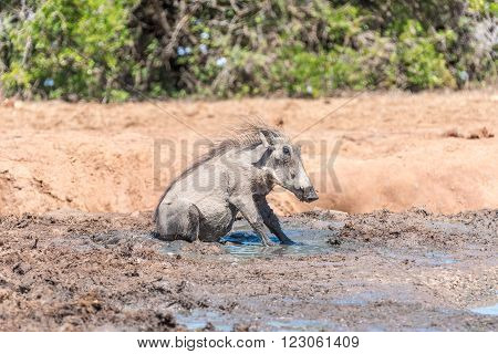 A common warthog Phacochoerus africanus sitting in mud