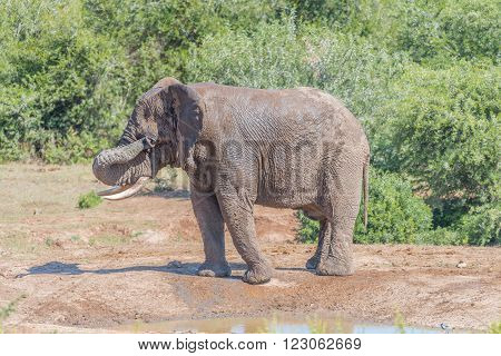 A young African Elephant Loxodonta africana wiping mud from its eyes after a mud bath