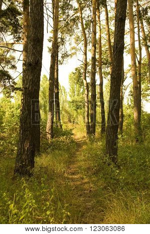 Path through a sunlit pine forest in the summer