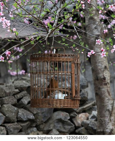A bird held in a cage under cherry tree