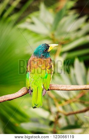 Exotic colorful bird great barbet sitting on a branch