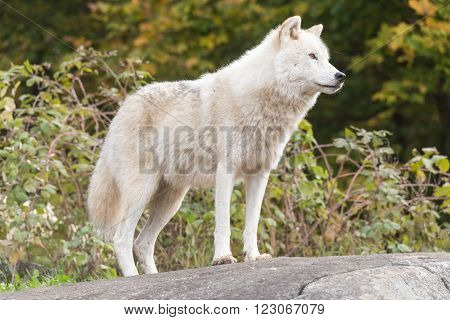 A profile of a loan Arctic Wolf in summer