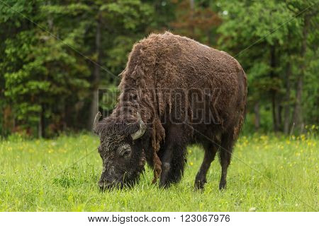 A North American Field Buffalo grazing on grass