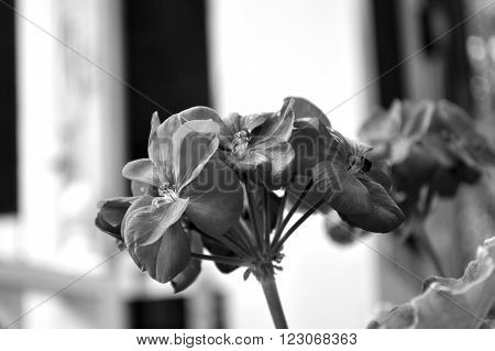Black And White Photo Of Geranium Bloom