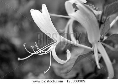 Black And White Japanese Honeysuckle