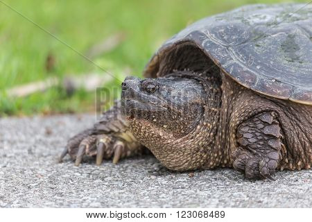 A large turtle warms itself on a foot path
