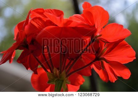 Bright Red Geranium