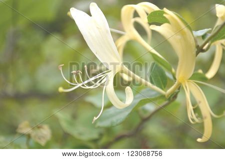 Lonicera japonica or Japanese honeysuckle blooms known for the sweet taste of their nectar
