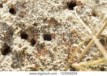 Fire Ants On Ant Bed