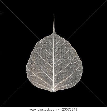 Skeleton of a leaf on a black background