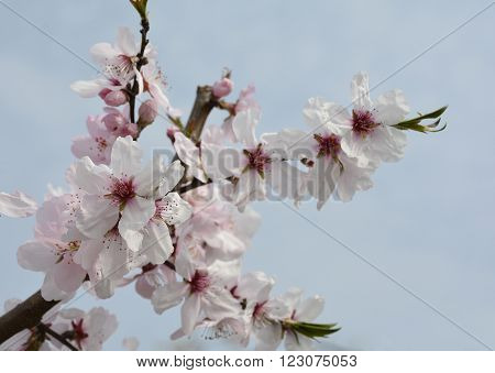 The small pink flower of the Grossa Dolce (or sweet big) almond tree in spring ** Note: Shallow depth of field
