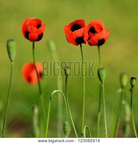 Red beautiful poppy flowers on green meadow
