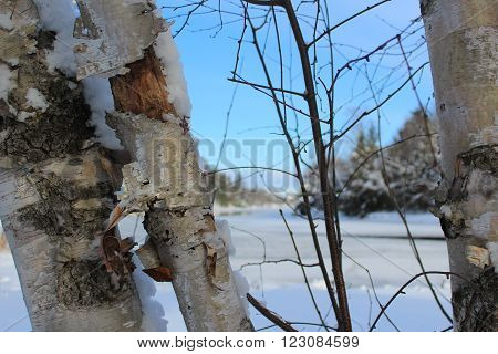Birch trees and a sapling against  a background of late afternoon blue sky and frozen river. ** Note: Visible grain at 100%, best at smaller sizes