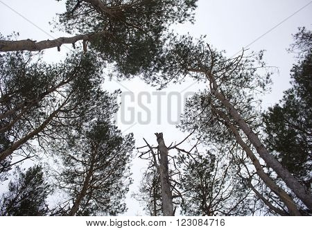 This shot provides an interesting high-contrast perspective of looking up in a sparse winter forest towards the overcast sky.