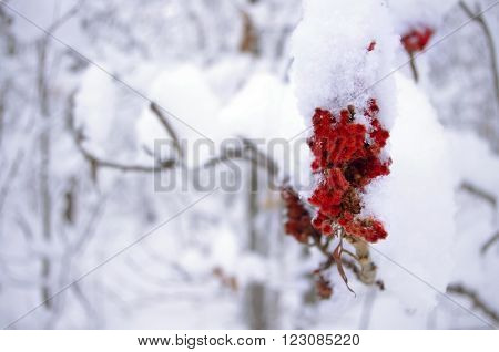 This close up of a flowering tree covered in snow shows a burst of color in a winter wonderland. ** Note: Soft Focus at 100%, best at smaller sizes