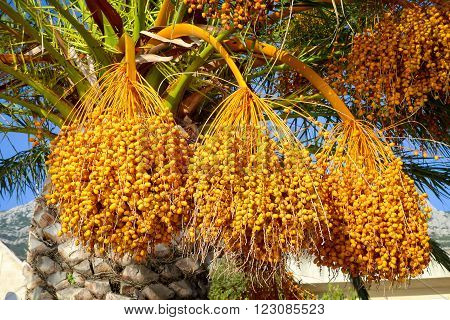 Natural dates fruits branch closeup in Makarska
