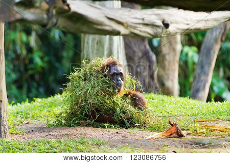 Adult orangutan (Rongo) sits under a bunch of grass and tree branches. Singapore.