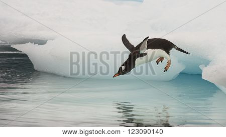 Gentoo Penguin jumping in the water from iceberg in Antarctica