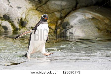 Gentoo Penguin  runs over  water in Antarctica