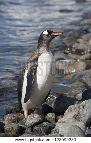Gentoo Penguin on the beach  in Antarctica