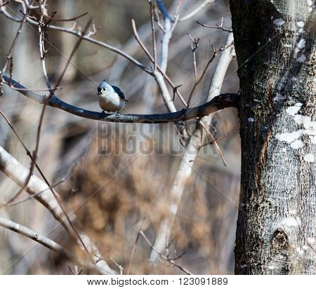 Tufted Titmouse in a Boreal Forest in Quebec Canada.