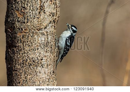 Hairy or Downey Woodpecker in a Boreal Forest in Quebec Canada.