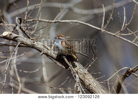 The American tree sparrow, also known as the winter sparrow, is a medium-sized sparrow. It previously was classified under the genus Spizella, but multilocus molecular evidence suggested placement in its own genus.